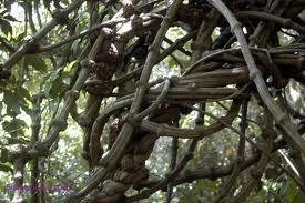 the ayahuasca vine can help cure depression